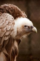 Griffon Vulture by Romanara