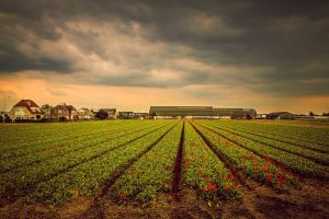 Tulips and Thunder by siddhartha19