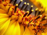 Flower In A Sunflower by mattconnect