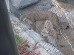 sd zoo male and female cougars by 6goose1994