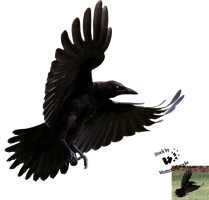 Cut-out stock PNG 80 - Flying young crow by Momotte2stocks