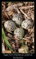 Eggs from Charadrius vociferus by cybercoyote