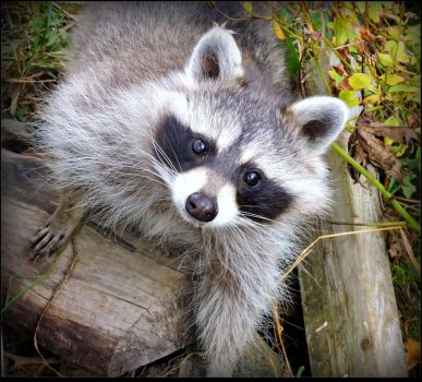 Another Orphan Baby Raccoon by JocelyneR