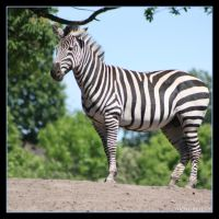 Zebra 2 by Globaludodesign