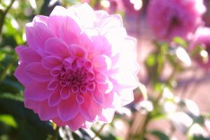 Pink Double Dahlia by jadenfangirl
