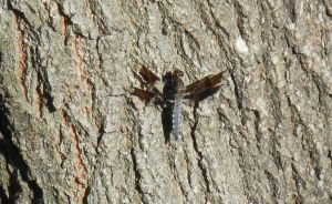 Camouflaged Brown Dragonfly by CloudNova