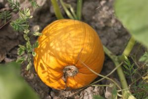 Pumpkin by Hjoranna
