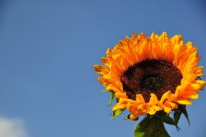 Sunflower and Blue Sky by BJohnsonPhotography