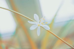 White Flower by Mithertiths