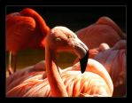 Flamingo by hamti