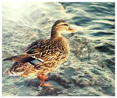 Mallard (Female) by Kaosah