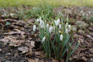 SPRING SNOWDROPS by CHRISwillar