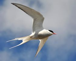 Arctic Tern 05 by nordfold