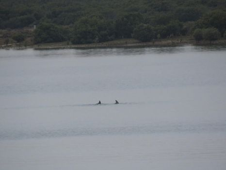 Two dolphins by LadySmartcat