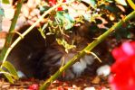 Cat hiding in rose bush by lostwoodsboy