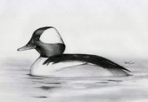 Bufflehead by RobtheDoodler