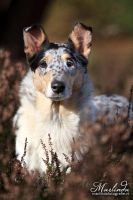 Smooth Collie by Marliinda