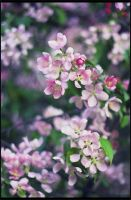 Malus prunifolia 2 by restive-wench