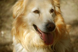 golden colored dog by Honeycorn