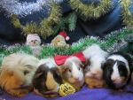 5 Christmassy piggies by Candyfloss-Unicorn