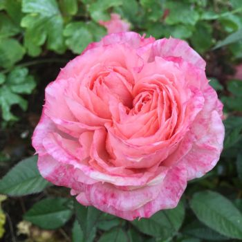 Pinkish Rose by JohnlockedDancer