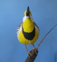 EASTERN MEADOWLARK 13 by Bagheera3
