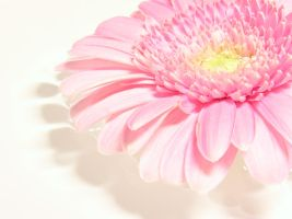 Gerbera Wallpaper by Romanara