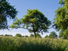 Tree in Summer 6 by archaeopteryx-stocks