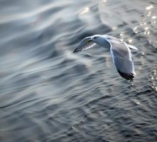 Seagull by spns