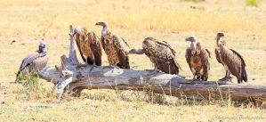 Vultures - 1 by Okavanga