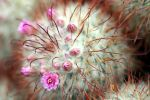 Cactus flowers by Gothic-Dreamscapes