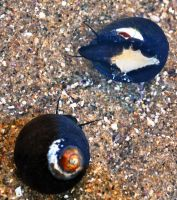 Pair of sea snails by fosspathei