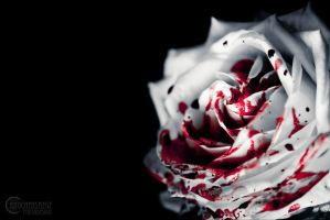 White rose I by RemusSirion