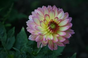 dahlia in Flora garden 25 by ingeline-art