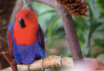 Eclectus Parrot by clairestclara