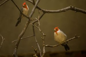 Red Crested Cardinal: Pair by toshema