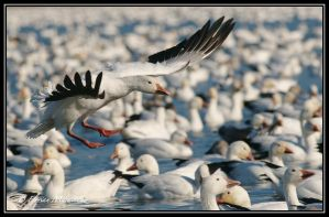 Snow goose 25 by Ptimac