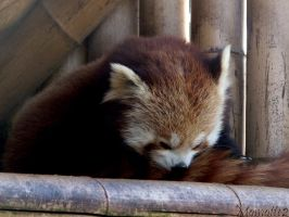 Sleeping red panda by Momotte2