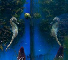 Pregnant Seahorse by Wild-Theory