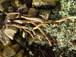 Old Woody Stems of Lavender, Front Garden by SrTw