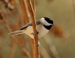 Chickadee by Mischi3vo