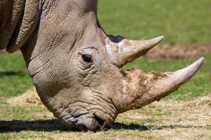 Southern White Rhinoceros by Daniel-Wales-Images