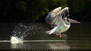 Pink-backed Pelican by Solrac1993