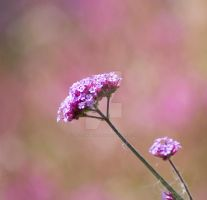 macro purple flower square by photographybypixie