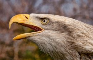 Bald Eagle by mansaards