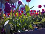 Minions and tulips by i8magic