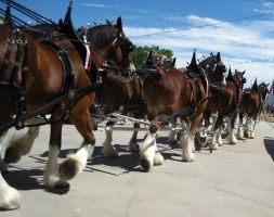 Budweiser Clydesdales Side Shot by amamranthine-fury