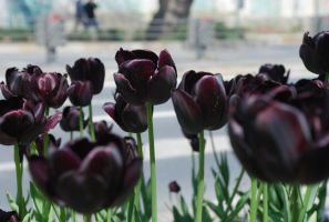 Black tulips by r3code