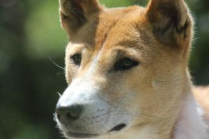 New Guinea Singing Dog 6 by lucky128stocks
