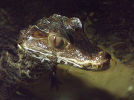Cuvier's Dwarf Caiman 02 by ShmibProductions